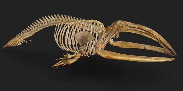 right whale skeleton 3d scan 10