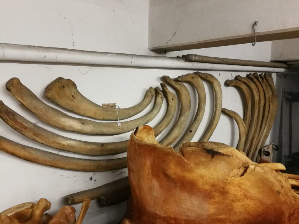 whale right skeleton ribs